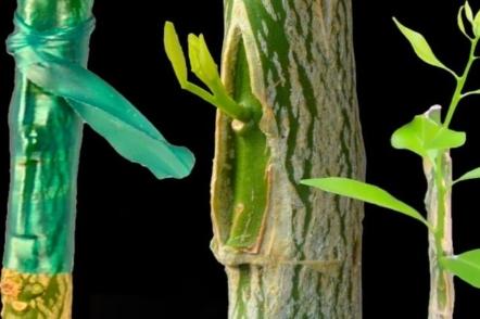 Окулірування - простий спосіб літнього щеплення дерев і кущів