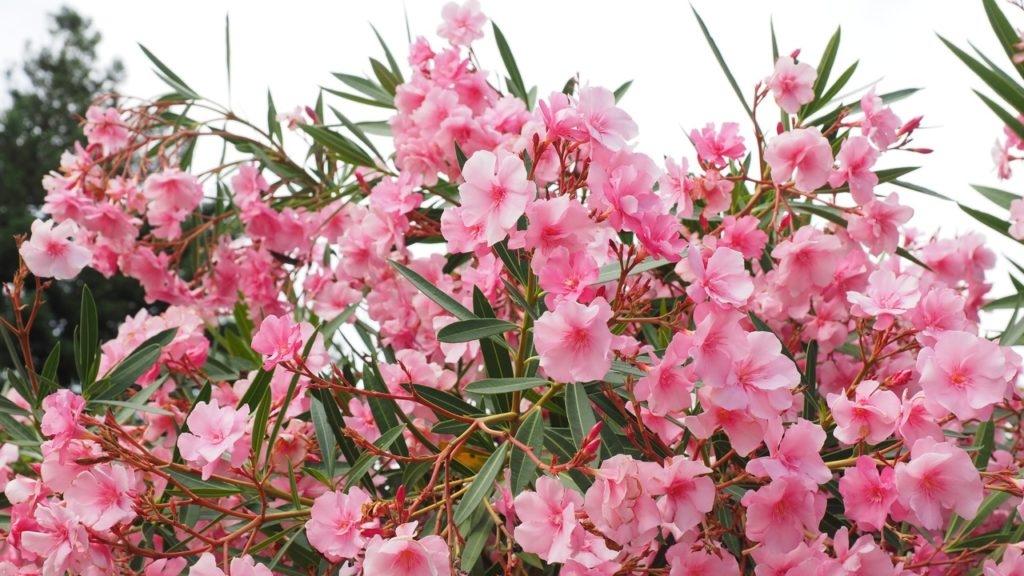 oleander-03-1024x576-7520395