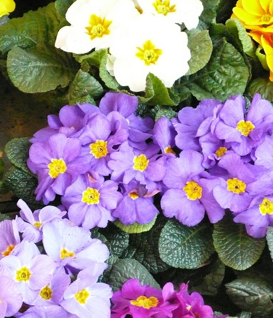 Примула (Primula)