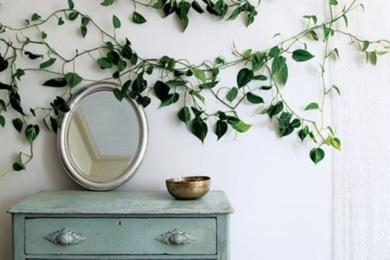Майже всю стіну можна прикрасити однією рослиною