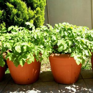 Невеликі ємності з картоплею сильно прогріваються сонцем, і це недолік вирощування її в контейнерах