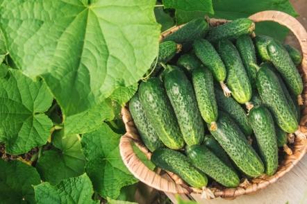 9 незамінних гібридів огірків