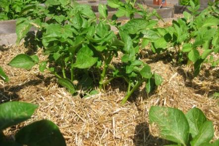 Картоплю вирощую тільки під соломою — і вам раджу!