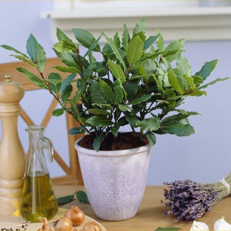 Лавр благородний — вирощуємо в садку і у будинку