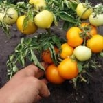viroshhuyemo-tomati-bez-rozsadi-sorti-perevagi-ta-nedoliki-metodu-04-150x150-9078281