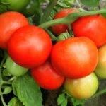 viroshhuyemo-tomati-bez-rozsadi-sorti-perevagi-ta-nedoliki-metodu-06-150x150-8763048