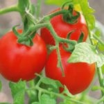 viroshhuyemo-tomati-bez-rozsadi-sorti-perevagi-ta-nedoliki-metodu-07-150x150-9309765