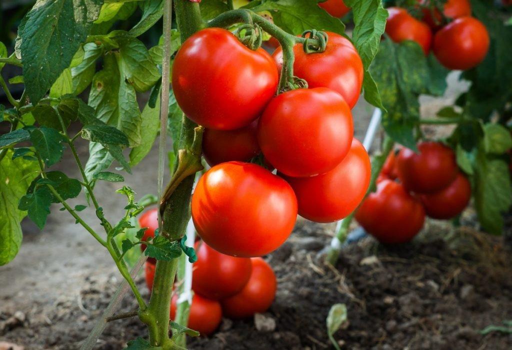 viroshhuyemo-tomati-bez-rozsadi-sorti-perevagi-ta-nedoliki-metodu-09-1024x700-5408965