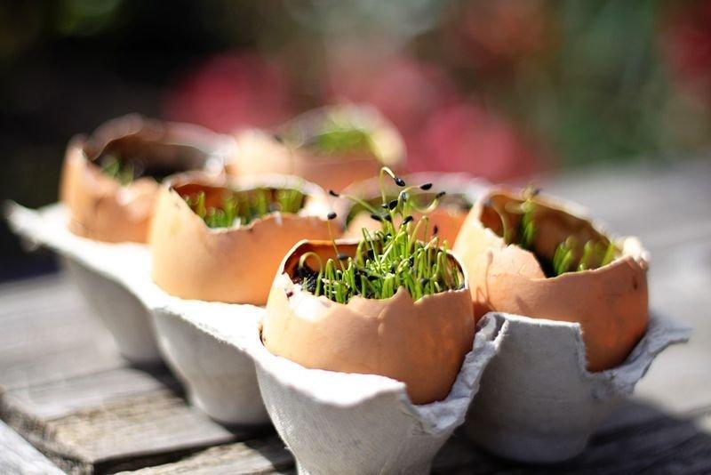 Яєчну шкаралупу можна з успіхом використовувати для вирощування розсади