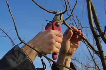 Правила весняної обрізки плодових