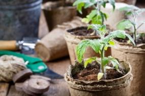 10 правил успішного вирощування розсади томатів у квартирі