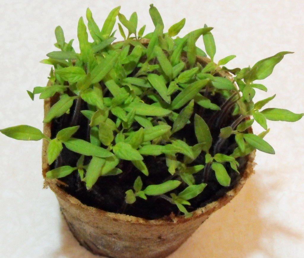 10-pravil-uspishnogo-viroshhuvannya-rozsadi-tomativ-u-kvartiri-04-1024x868-7321034