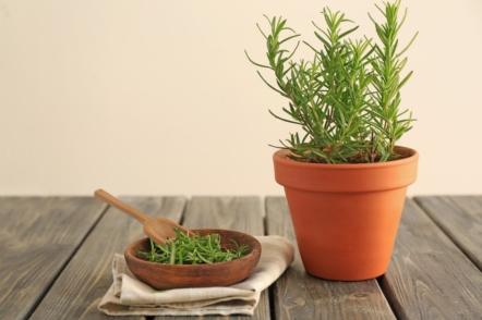 Розмарин в саду і вдома — ароматна пряність без особливого клопоту
