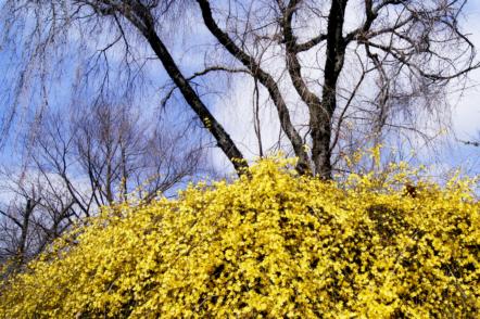 Жасмин голоквітковий — декоративний кущ, який цвіте в зимовому саду
