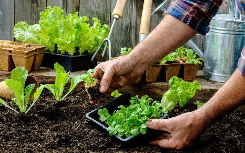 Перший час висаджену розсаду краще захищати від прямих сонячних променів