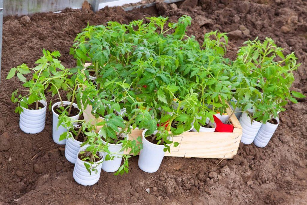 Про готовність томатів до висадки на грядки можна судити по наявності 8-9 листочків