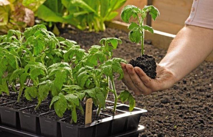 Мінімізуйте ризики пошкодження коренів розсади при пересадці