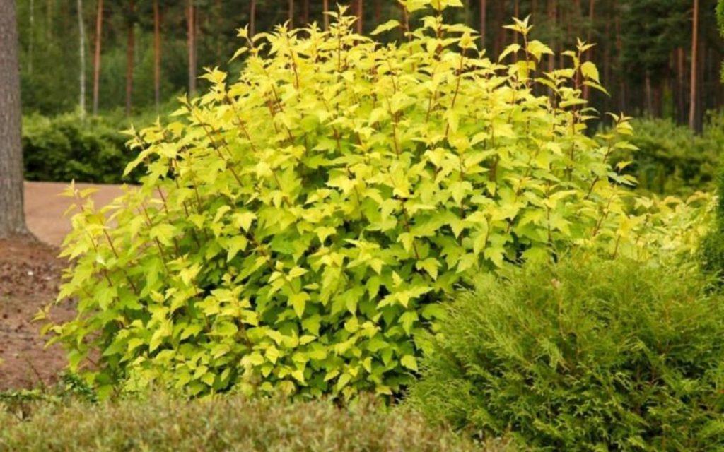 На мій погляд, саме листя пухироплiдника калинолистого представляють його головну цінність