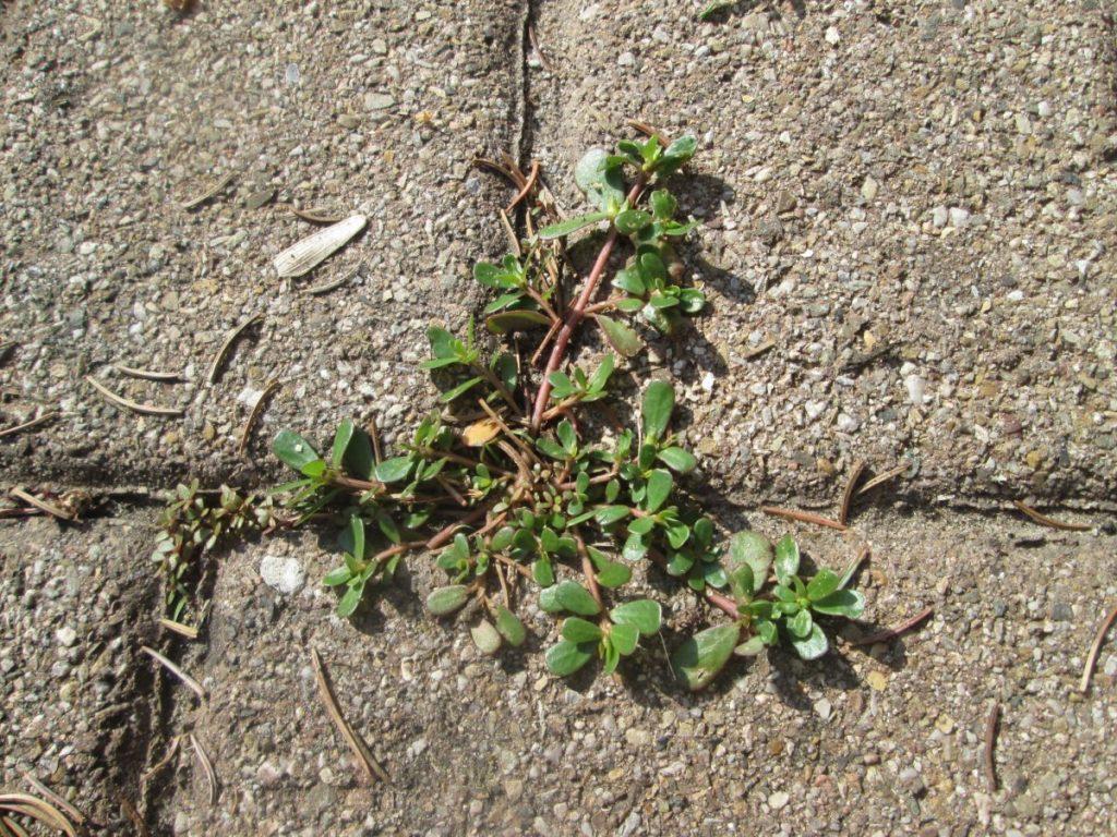 Портулак городній — одне з найстійкіших до умов рослин