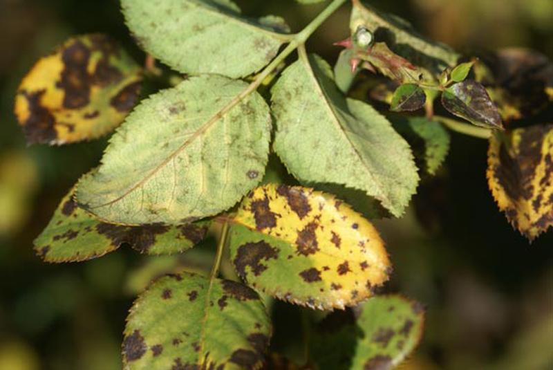 Найбільш поширеною проблемою при вирощуванні троянд є поява темних плям на листі