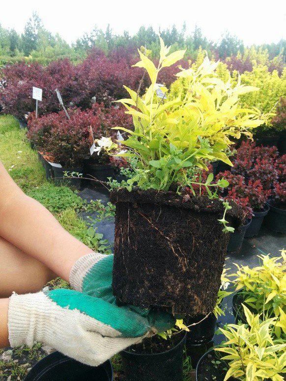 Прийшовши в садовий центр або навіть на ринок, не посоромтеся попросити продавця або менеджера витягти саджанець з контейнера і показати його кореневу систему