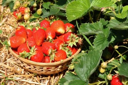 Чим підживити полуницю після плодоношення