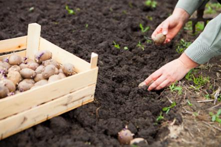 Навіщо садити картоплю влітку?