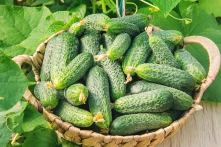 Прищипування огірків, або Як в рази збільшити врожай огірочків