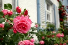 Чому мої троянди ніколи не хворіють на грибні захворювання