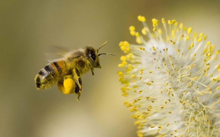 Основна функція бджіл — не видобуток меду, а запилення, а сусідство з пасікою збільшує врожай культур, як мінімум, наполовину