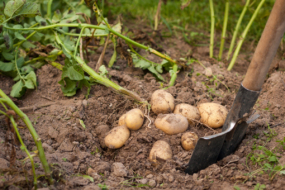 Як доглядати за ґрунтом після картоплі