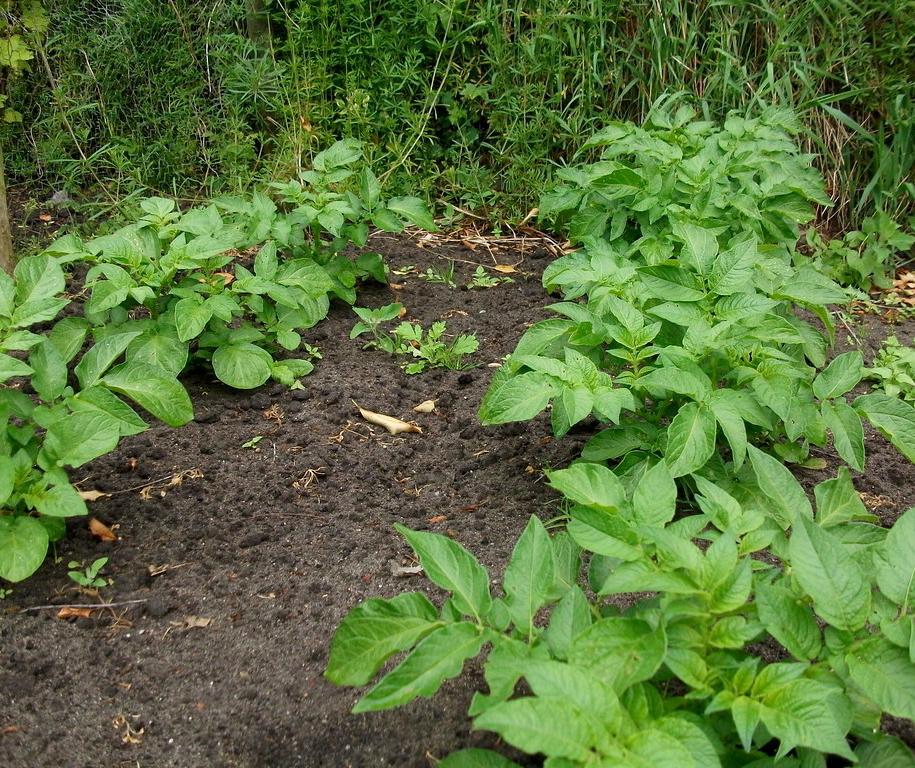 Картопля виснажує ґрунт сильніше інших коренеплодів