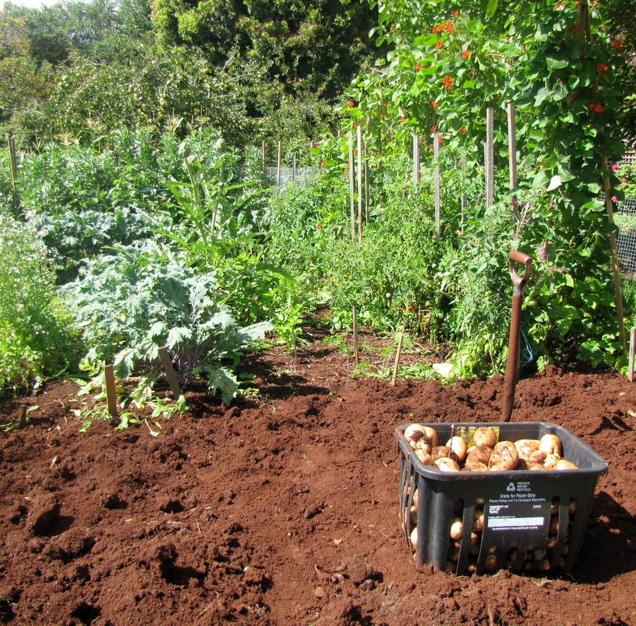З ґрунту варто вибрати усі кореневища бур'янів та залишки картоплиння