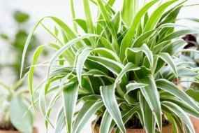 10 кімнатних рослин, які ефективно очищують повітря в приміщенні10 кімнатних рослин, які ефективно очищують повітря в приміщенні