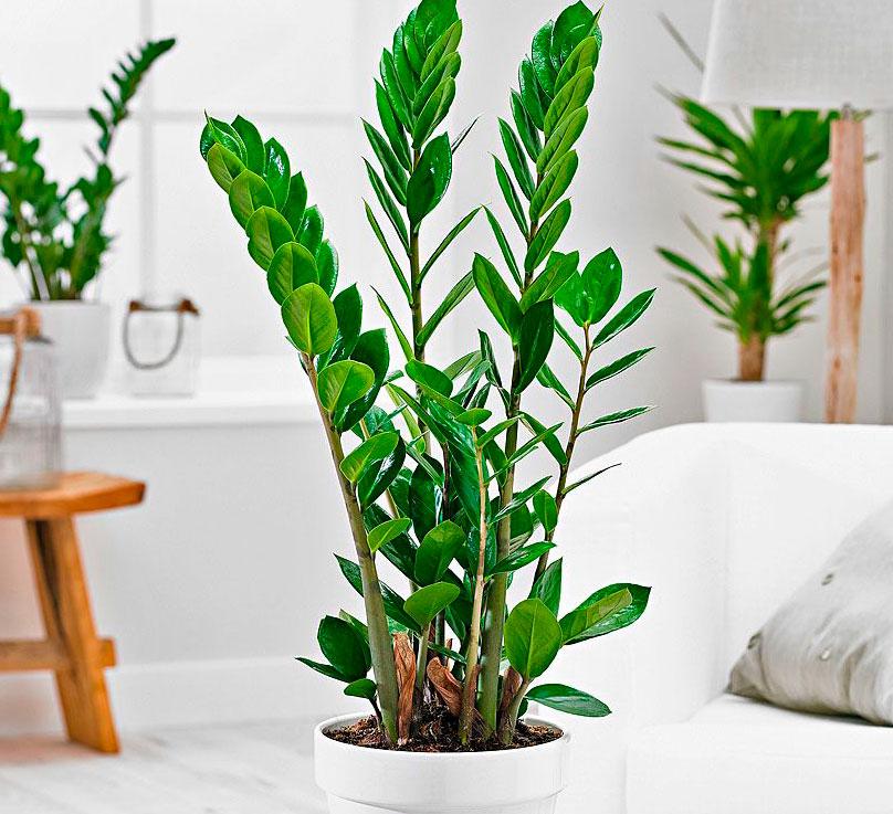 Заміокулькас (лат. Zamioculcas zamiifolia)