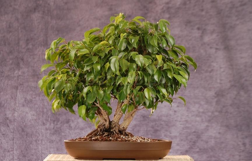 Фікус Бенджаміна (лат. Ficus benjamina)