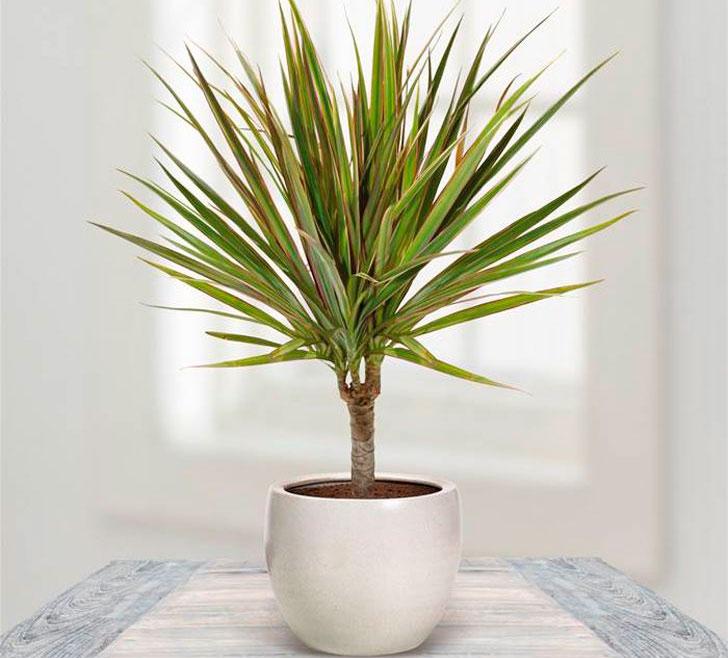 Драцена маргіната, або Драцена облямована (лат. Dracaena marginata)