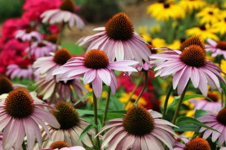 Багаторічні квіти, які майже ніколи не хворіють