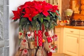 Пуансетія — Різдвяна зірка у вашому домі