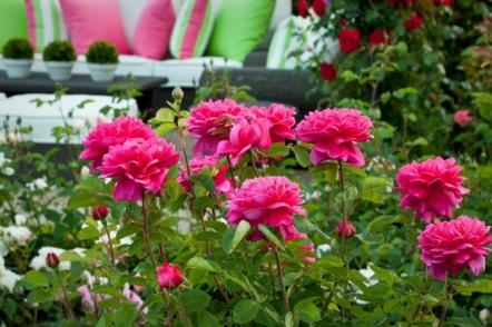 Поділ троянд на групи за декоративними ознаками. © photobotanic