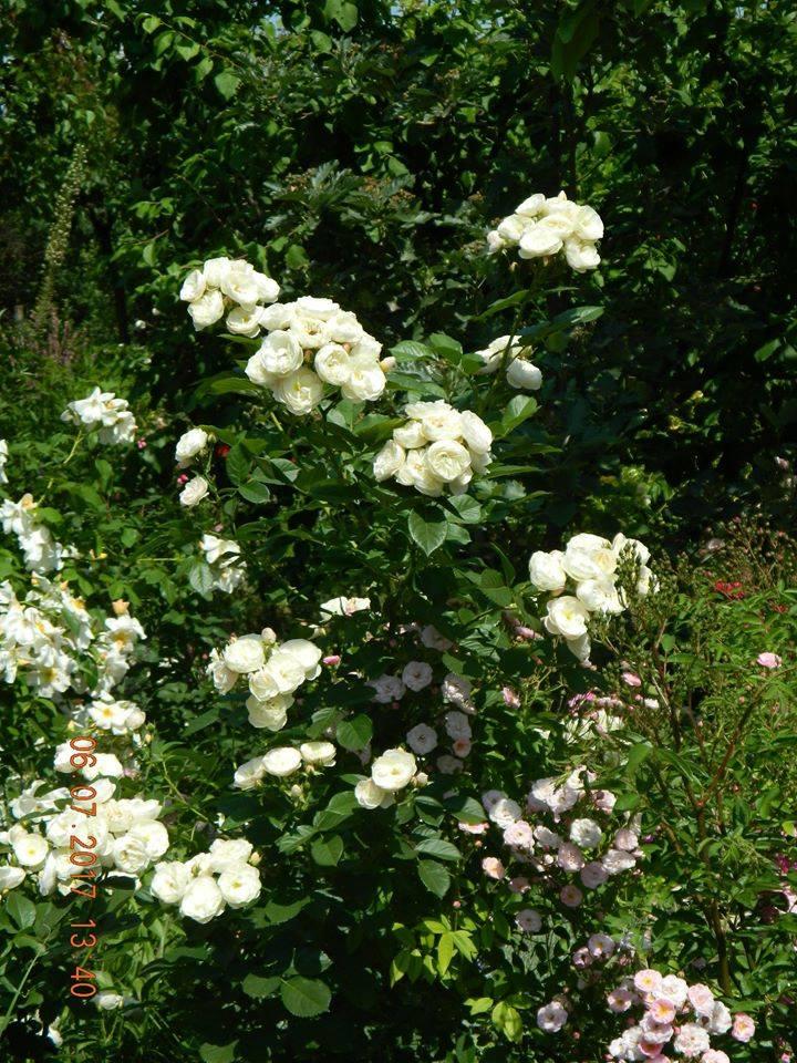 Троянда Bouquet Parfait, Lens, Бельгія, 1989