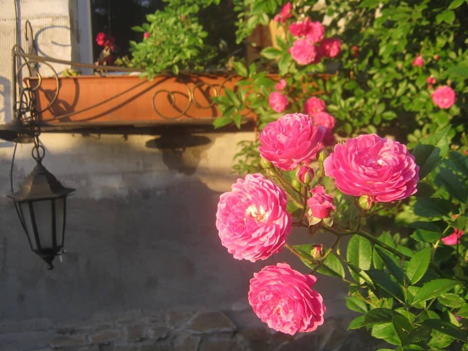 Троянда Dorothy Perkins, Jackson&Perkins, США, 1901