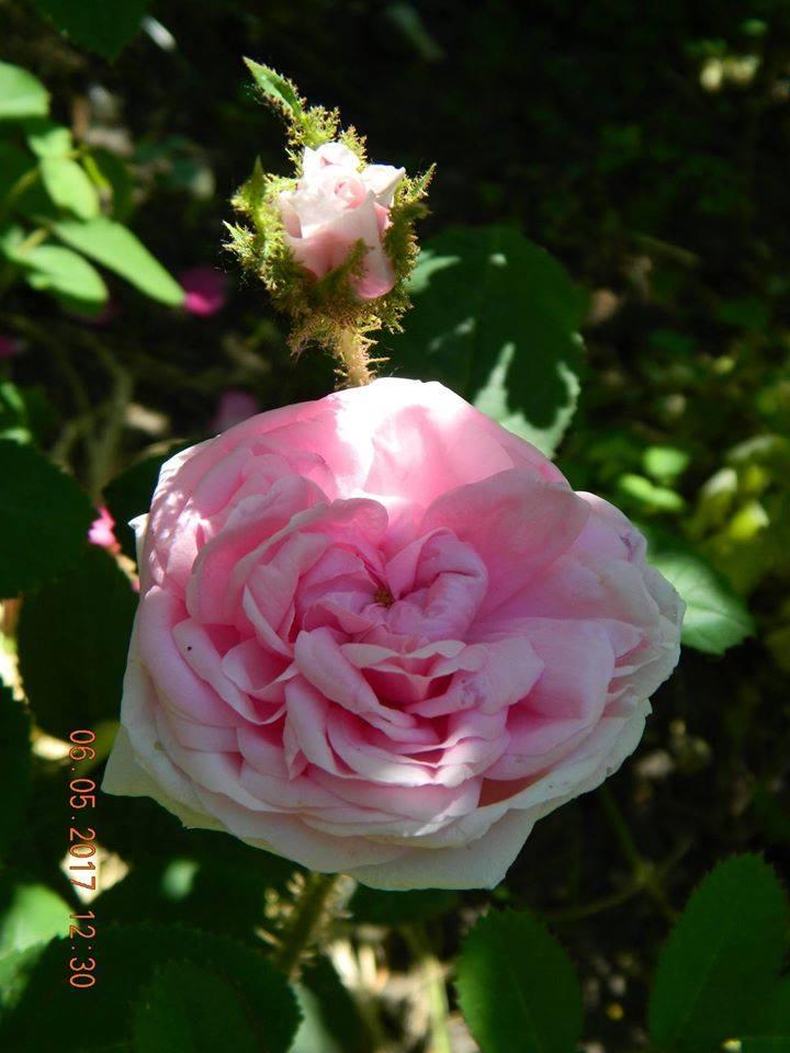 Muscosa, мохова троянда, невідомої інтродукції до 1696 р.