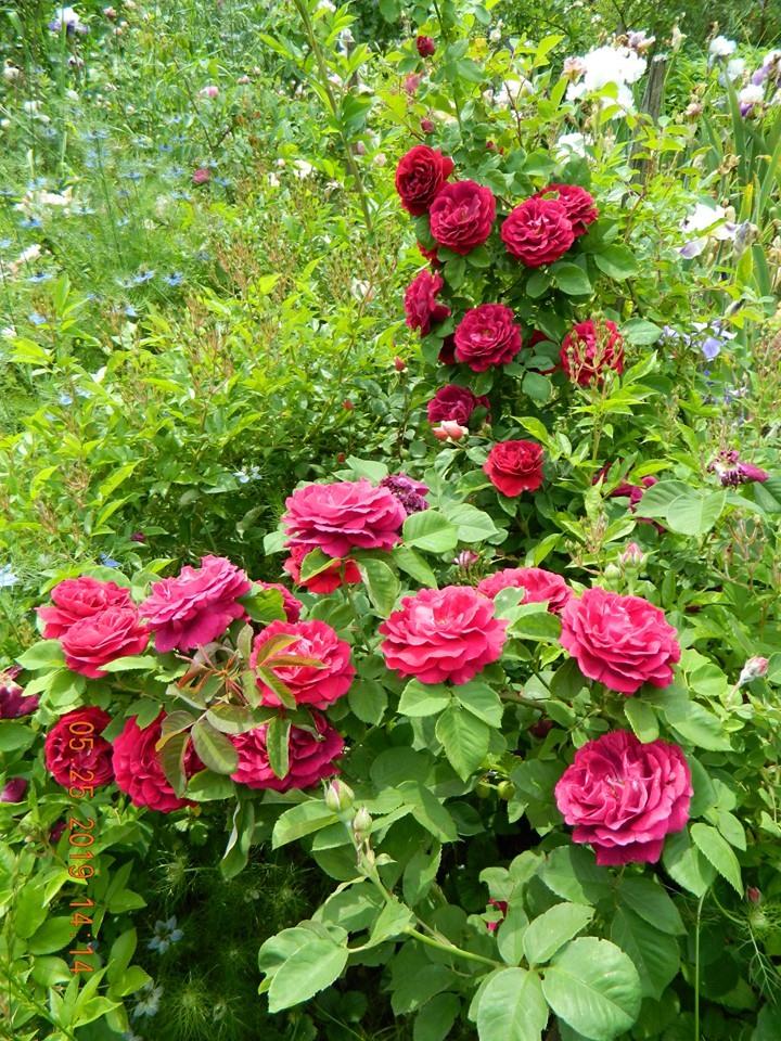 Троянда Souvenir du Docteur Jamain, Lacharme, Франція, 1865