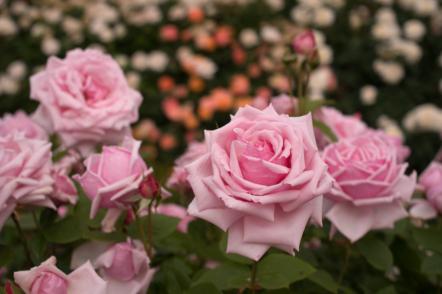 Які бувають троянди? Про видові, старовинні та сучасні. © yopparainokobito
