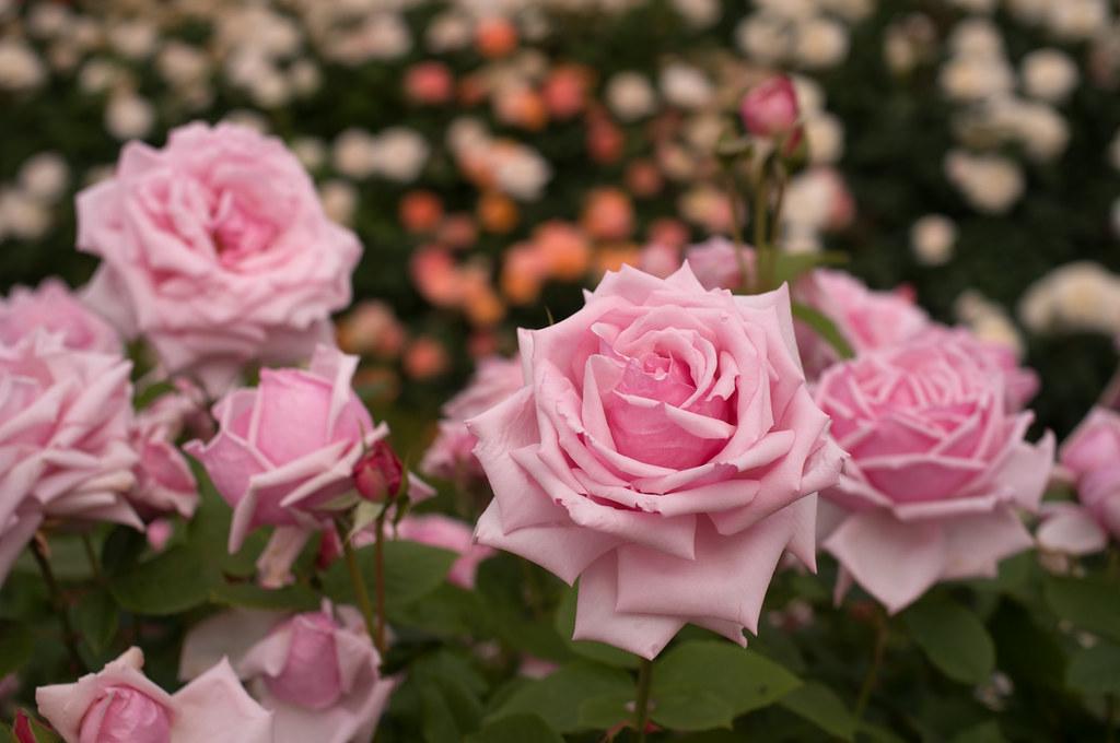 Які бувають троянди? Про видові, старовинні та сучасні
