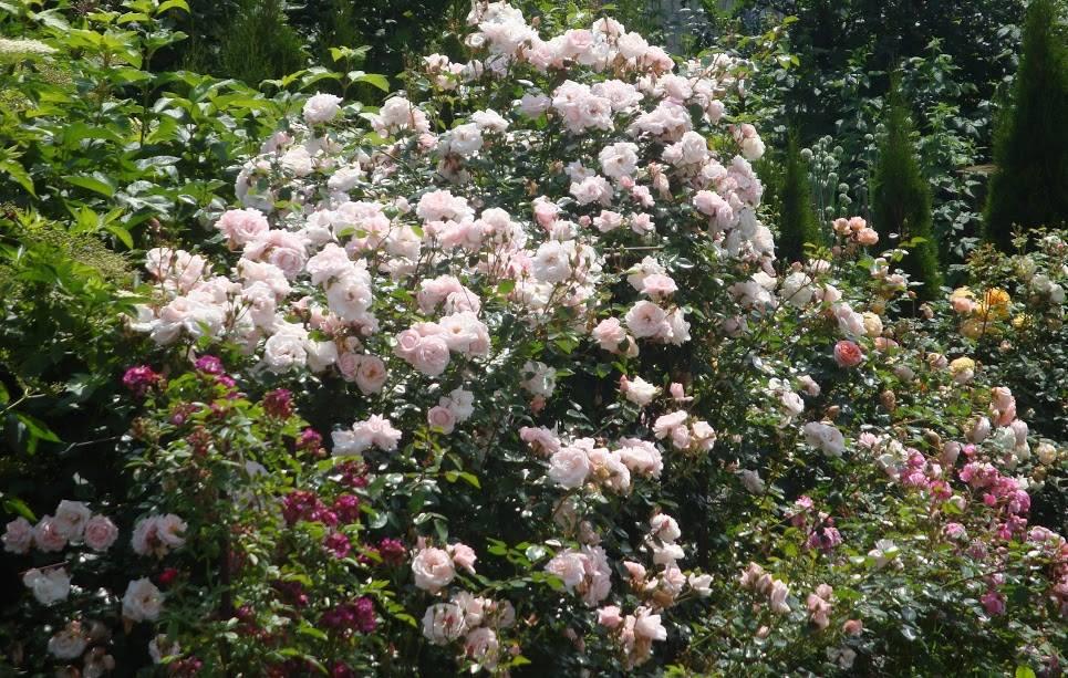Троянда New Dawn, Somerset Rose Nursery, США, 1930 (гібрид Wichurana)
