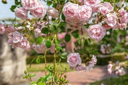 7 яскравих сортів плетистих троянд — рамблери, перевірені часом. © davidaustinroses
