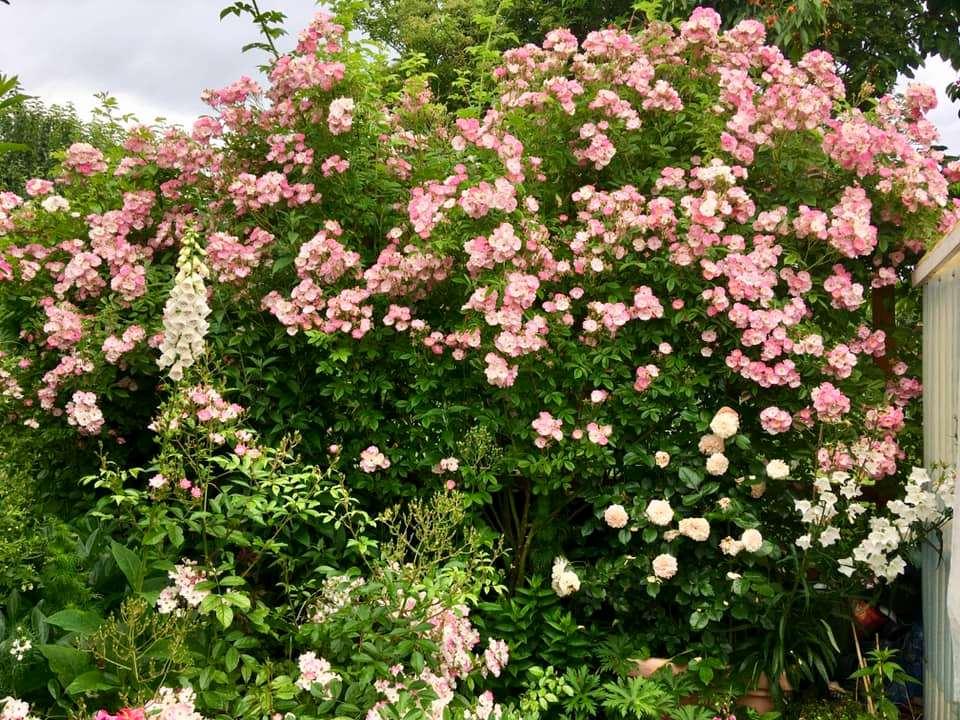 Троянда Apple Blossom
