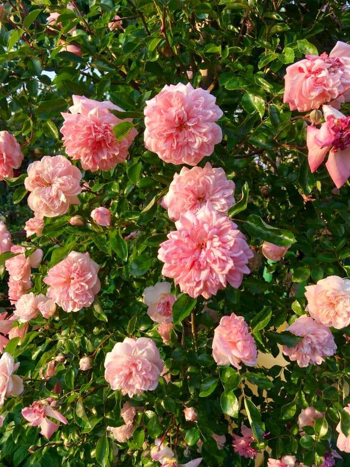 Троянда Poul Noel